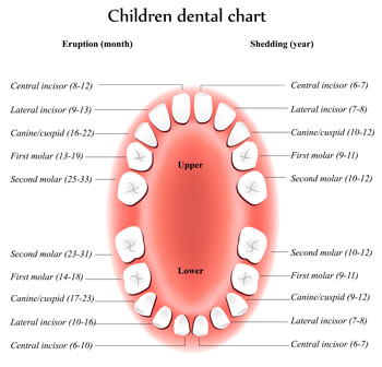 Tooth Eruption Chart - Pediatric Dentist in Plainfield, IL